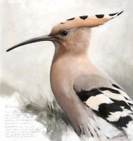 Hoopoe by Renum63