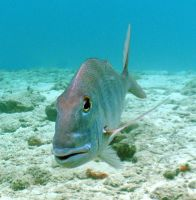 Mutton snapper by g--f
