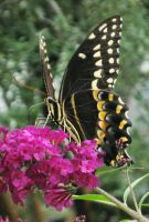 Palamedes Swallowtail 1 by Squirrelflight-77