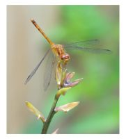 Dragonfly by Vamaena
