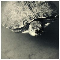 Turtle by msabas