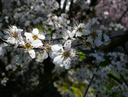 Spring Flowers in the Sun by Enchantedgal-Stock