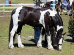 STOCK - Canungra Show 2012 142 by fillyrox
