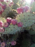 cactus blooming by Scilent-Toaster