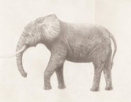 Elephant, drawing in progress by Noohmsul