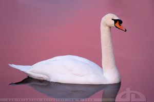 Pink Swan by thrumyeye