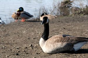 Geese and Ducks by jvmediadesign