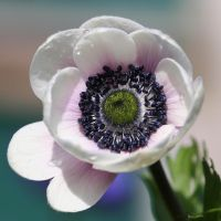 white anemone by evelynzee