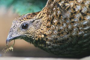pheasant close up by pagan-live-style
