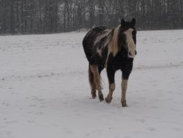 Dirk - Gray Tobiano Gelding by Horselover60-Stock