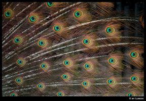 Peacock eyes by Lunchi