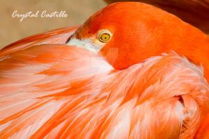 Flamingo by CLCPhotography