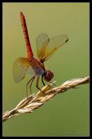 Red Dragonfly by AlexCphoto