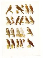 Antique birds print 15 by OMEGA86