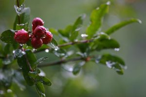 Pomegranate flowers. by ValentinaF