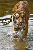 Tiger in Water II by amrodel