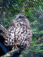 Less is Morepork by modestlobster