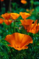 Poppies A-Glow by No-Avail