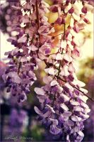 Wisteria sinensis 2 by ShlomitMessica