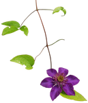 Clematis 02 png by gd08