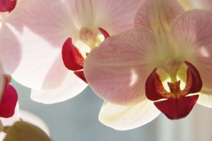 Orchid. by justsickgirl14