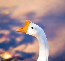 White Chinese Goose by rdswords