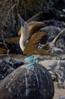Blue Footed Boobie Courting 1 by AaronPlotkinPhoto