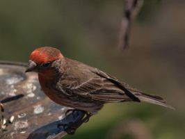 Male House Finch 6 by photographyflower