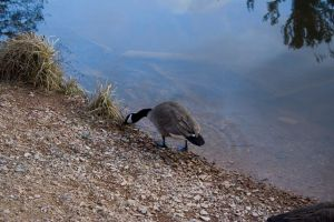 A Goose Calmly Feeding by Trainman51