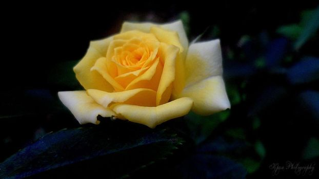 yellow rose by kpza