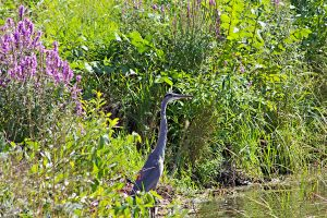 Great Blue Heron by the Shore by DougSmith21