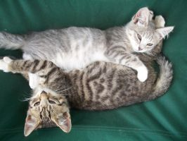 Kittens Bramble and Poppy by 66dash99FFWRTBC