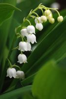 Lily of the Valley 01 by elanordh-stock