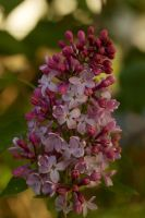 112 - Blooming lilacs by mayhem62930