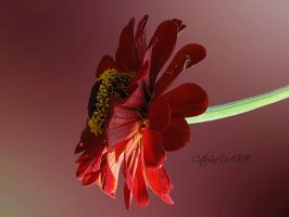 FOLIE DE ZINNIAS 1 by BELLESYMPHORINE