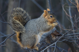 Fox Squirrel by Gerryanimator
