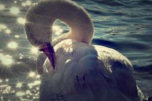 white swan by samsibamsi