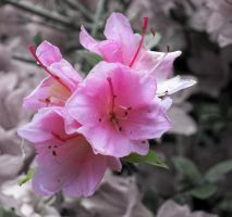 Pink Flowers by Kaito42