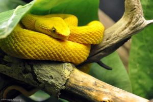 Eyelash Viper by Chaotic-Chelly