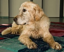 Golden Retriever 4 by archaeopteryx-stocks