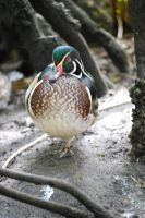 Wood Duck by nightowl