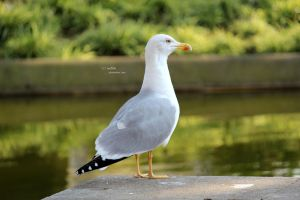 Seagull 1 by ine5ita