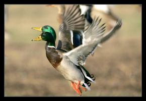 Mallard II by invisiblewl