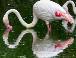 Flamingo Art by ARC-Photographic