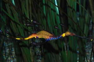 weedy sea dragon by nickteezy408