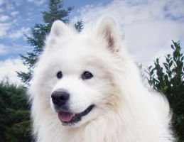 Samoyed King by Etskuni