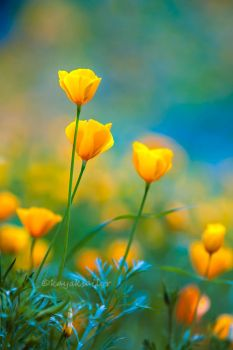 Poppies in the blue by kayaksailor