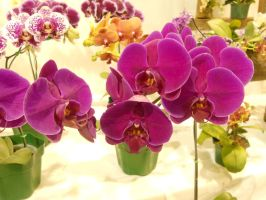 Orchids by KazePhotos