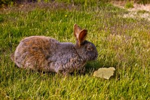 HDR wild bunny by thevictor2225