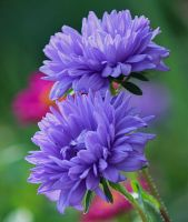 purple asters by SvitakovaEva
